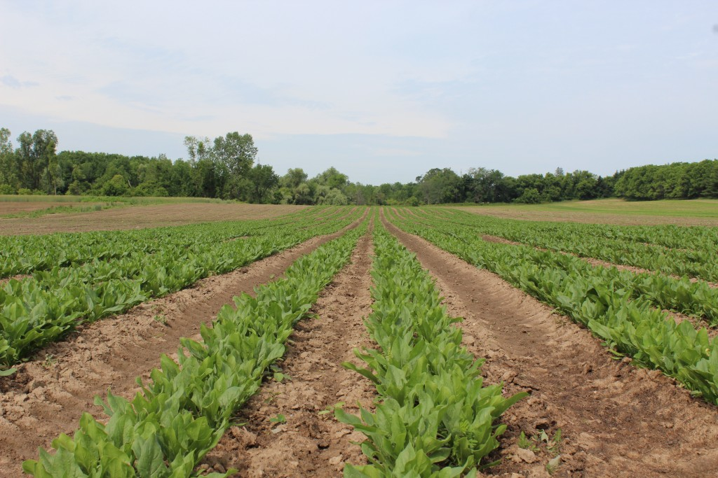 A double row of spinach growing.