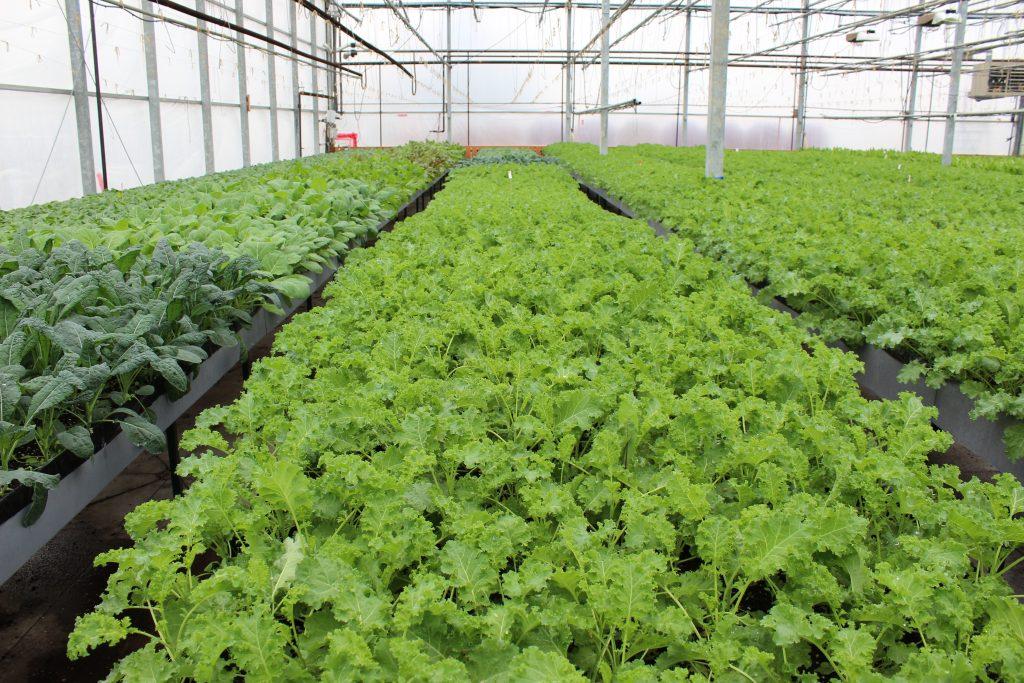 Green Kale!
